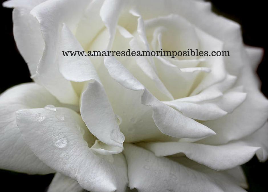 Hechizo con rosas blancas para enamorar